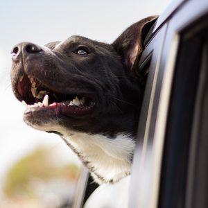 CBD for car sickness in pets